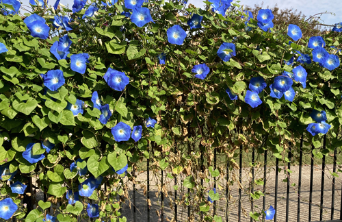 Morning glories with withering leaves